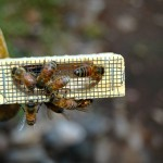 bees-682940_640-150x150