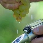 Vintner Measures The Sugar Content of Grapes With A Refractometer